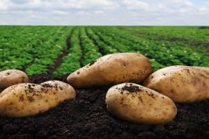 Cum a schimbat cartoful istoria