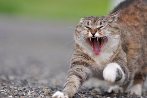 Pisicile cauzează comportamente agresiv-explozive