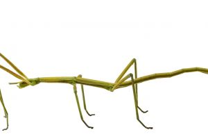Insecta de 60 cm, cea mai lungă din lume