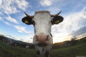 Vacile pe antibiotice produc bălegar toxic pentru mediul înconjurător