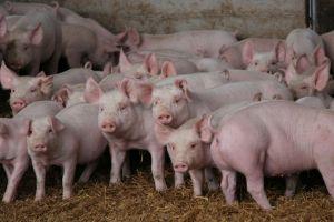 Porcii, donori de organe umane?
