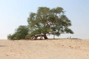 Copacul care creşte singur de 400 de ani, în mijlocul deşertului