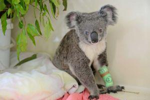 Ursul Koala cu ochi de culori diferite