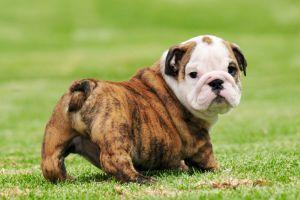 O rasă iubită de câine ar putea dispărea din cauza problemelor de sănătate