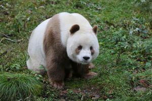 Quizai, singurul urs panda maro din lume