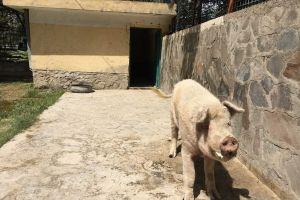 Există doar un singur porc în Afganistan. Numele lui este Khanzir