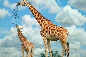Girafele ar putea fi în pericol de dispariţie
