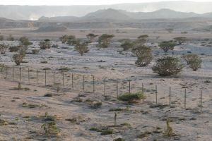 Arbuştii de tămâie din Wadi Dawkah