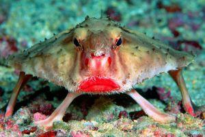 Buzele ţuguiate ale peştelui rujat strident