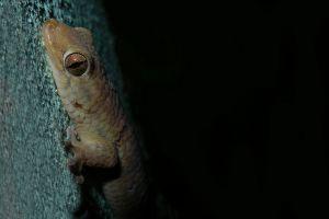 O nouă specie de şopârlă nu-şi încape în piele