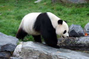 De ce sunt urşii panda albi cu negru?