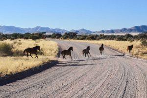 Caii sălbatici din Deşertul Namib