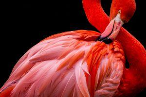 De ce stau într-un picior păsările flamingo?