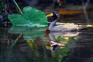 Pasărea acvatică pe cale de dispariţie la nivel global