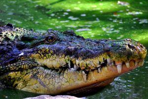 Crocodilul nu îmbătrâneşte şi totuşi nu trăieşte veşnic