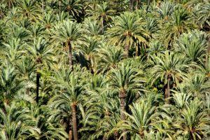 Elche, oraşul palmierilor