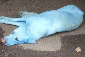 Câinii vagabonzi din India devin albaştri