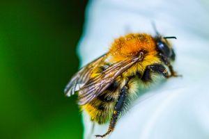 Albinele pot fi ori stângace ori dreptace