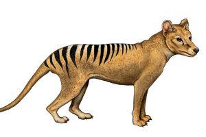 Tigrul tasmanian, condamnat de propriul ADN